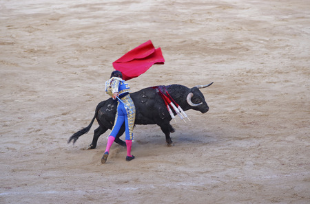spanish bull: Spanish bull attacks a bullfighter during a bullfighting show in La Monumental arena in the city of Barcelona, Spain.