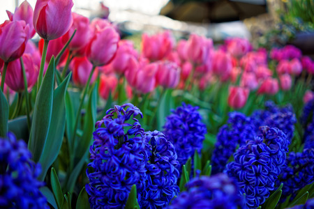 Tulips and hyacinths on nature background in the sunlight in New York City, USA