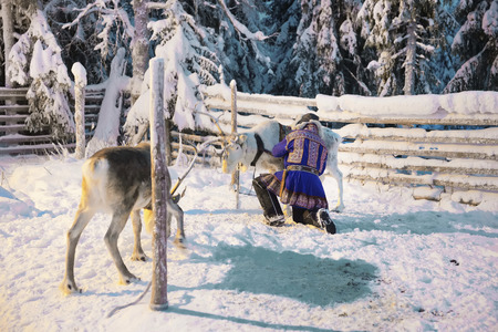 suomi: Reindeers and Suomi man in Ruka in Lapland, in Finland