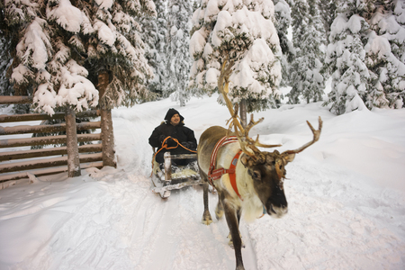 sledge: Winter Lapland Reindeer sled racing in Ruka, in Finland