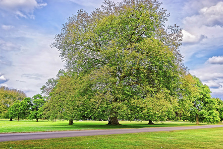 alder tree: Big old Alder tree in Park of Audley End House in Essex in England. It is a medieval county house. Now it is under protection of the English Heritage. Stock Photo