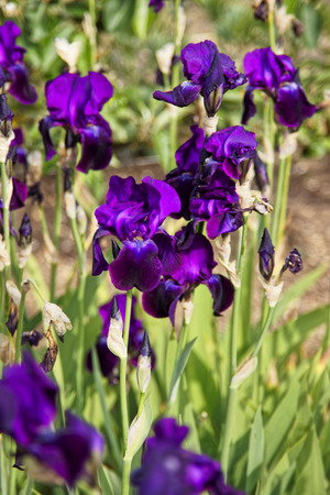 kitchen garden: Purple Iris in the Kitchen garden in Audley Stock Photo