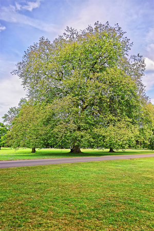jacobean: Big old maple tree in Park of Audley End House in Essex in England. It is a medieval county house. Now it is under protection of the English Heritage. Person nearby