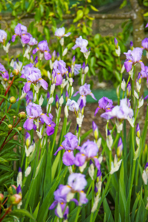 kitchen garden: Violet Iris in the Kitchen garden in Audley