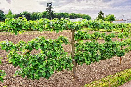 jacobean: Apple Tree in Organic kitchen garden of Audley End House in Essex in England. It is a medieval county house. Now it is under protection of the English Heritage.