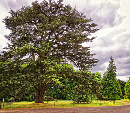 jacobean: Big old Cedar tree in Park of Audley End House in Essex in England. It is a medieval county house. Now it is under protection of the English Heritage.