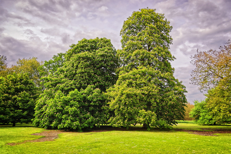 heritage protection: Big old chestnut trees in Park of Audley End House in Essex in England. It is a medieval county house. Now it is under protection of the English Heritage.