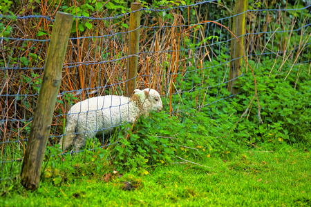 beacons: Lamb stuck in a fence in Brecon Beacons in South Wales. Brecon Beacons is a chain of mountains in the South of Wales of the United Kingdom. Stock Photo