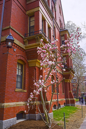 harvard: Cambridge, USA - April 29, 2015: Magnolia tree blooming at Harvard Computer Society Building in Harvard Yard of Harvard University in Cambridge, Massachusetts, MA, USA. Tourists in the yard. Editorial