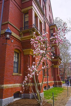 harvard university: Cambridge, USA - April 29, 2015: Magnolia tree blooming at Harvard Computer Society Building in Harvard Yard of Harvard University in Cambridge, Massachusetts, MA, USA. Tourists in the yard. Editorial