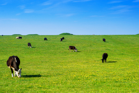 Cows in the valley in the Countryside at Stonehenge in Wiltshire in the UK. Wiltshire is a county in South West England. It is famous for many valleys and downhills. Stock Photo
