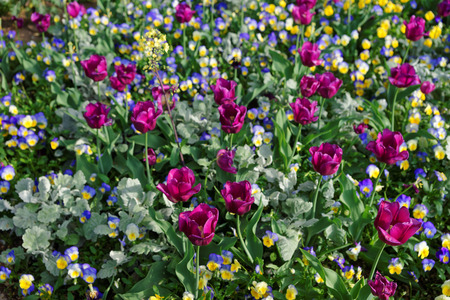 Colorful flowers pictured in Washington D.C., USA. The huge amount of various flowers such as pansies and tulips can be found in the Floral or Tulip Library in the National Mall.
