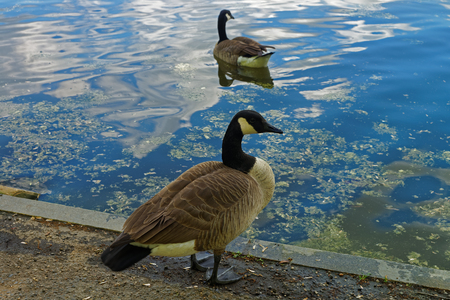 birdwatching: Two birds were seen on the ground and the water near the National Mall in Washington D.C., United States of America. They enjoy a great weather and are not afraid of people who take a walk nearby.
