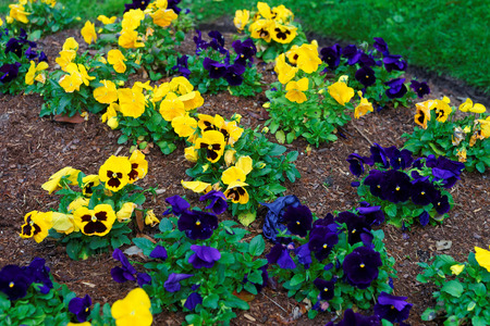lady bird: Flowerbed of brightly colored pansies located in Washington D.C., USA. In the city there is a Floral Library which was established as a part of Lady Bird Johnsons Capital Beautification Project.