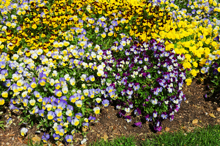 beautification: Bright flowerbed of pansies is located in Washington D.C., USA. In the city exists Floral Library which was established in 1969. It is a part of Lady Bird Johnsons Capital Beautification Project. Stock Photo