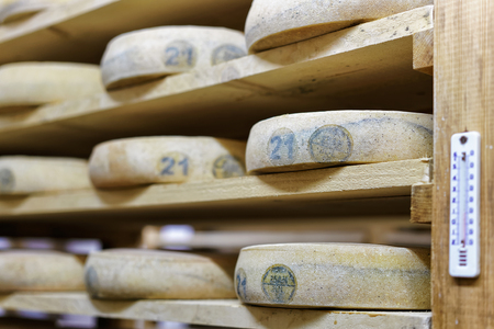 creamery: Aging Cheese on wooden shelves in the maturing cellar in Franche Comte creamery in France