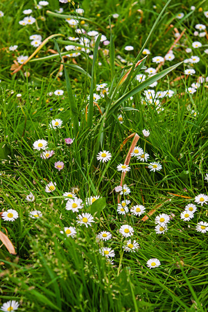 brecon beacons: Blooming daisies in the garden in Brecon Beacons in South Wales in the South of Wales of the United Kingdom. Stock Photo