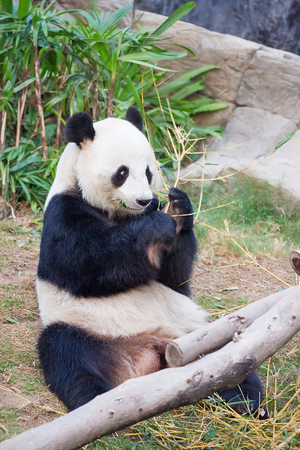 astonishing: Hong Kong, Hong Kong -  January 10, 2012: Giant black and white panda eating bamboo leaves in the zoo, in Hong Kong Ocean Park. Stock Photo