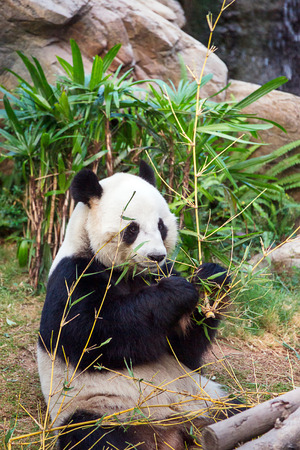 Giant black and white panda eating bamboo leaves in the zoo