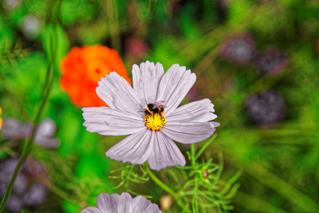 Cosmos flowers and bee at Trummelbach falls in the mountains of Lauterbrunnen valley, District of Interlaken, of Bern canton in Switzerland.