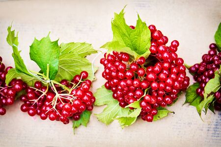 guelder rose berry: Guelder rose berry background