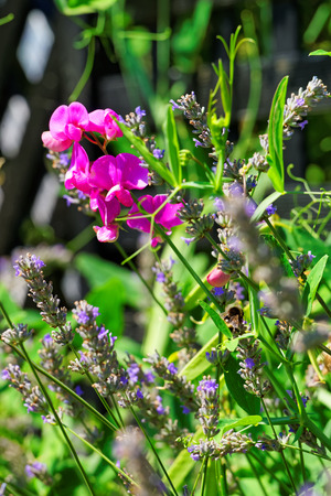 Lavender field in a Swiss village in Yverdon les Bains, Jura Nord Vaudois district in Canton Vaud, Switzerland.