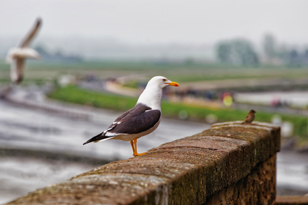 manche: Seagull at Mont Saint Michel of Normandy region of Manche department in France.