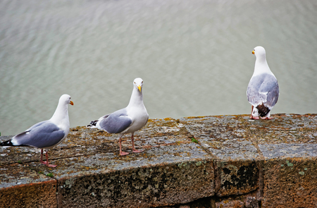 Seagulls at Mont Saint Michel of Normandy region at Manche department in France.
