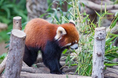 Hong Kong, Hong Kong -  January 10, 2012: Red panda, also called as Ailurus fulgens, in the zoo of the Ocean Park in Hong Kong. Selective focus