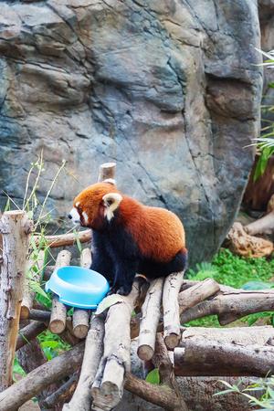 Hong Kong, Hong Kong -  January 10, 2012: Red panda, also called as Ailurus fulgens, after eating food in the zoo of the Ocean Park, in Hong Kong. Selective focus
