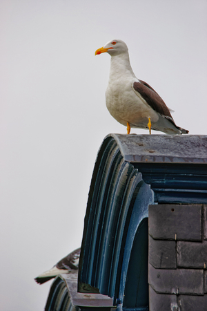 manche: Seagull at Mont Saint Michel of Normandy region at Manche department, France.