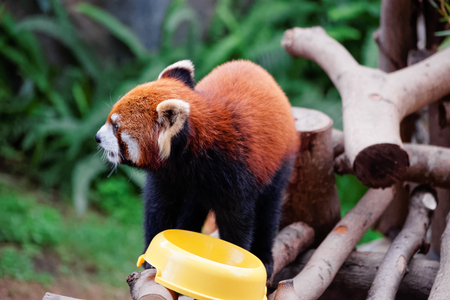 Red panda, also called as Ailurus fulgens, after eating food in the zoo of the Ocean Park of Hong Kong.