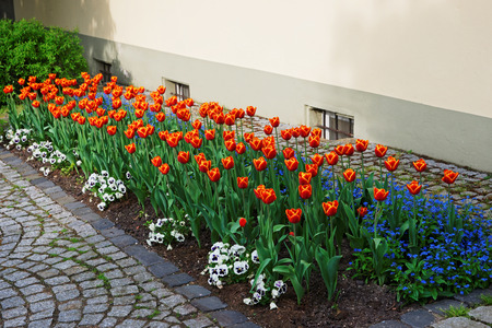 Tulips and forget me not flowers in a garden in Reichenau Island on Lake Constance in Baden-Wurttemberg in Germany. Stock Photo