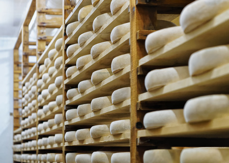 Wheels of aging Cheese on wooden shelves at ripening cellar in Franche Comte dairy in France