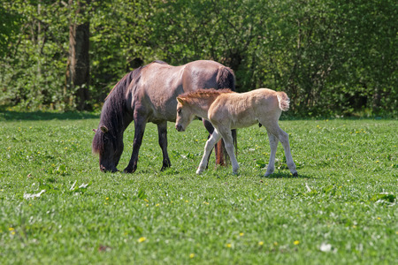 Mare and colt in Bialowieza National Park as a part of Belovezhskaya Pushcha National Park in Poland.