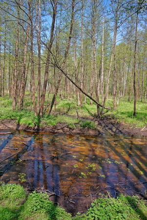 backwater: Trees at slough in Bialowieza National Park as a part of Belovezhskaya Pushcha National Park in Poland. Stock Photo