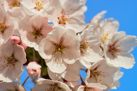 Sakura or cherry tree flowers bloom in spring on natural blue background Stock Photo