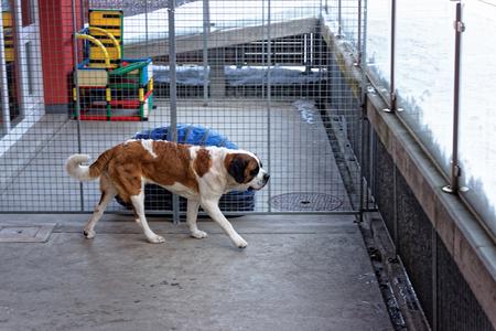 Saint Bernard dog at breeding kennel in Martigny, Switzerland Stock Photo