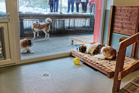 Saint Bernard adult dogs in breeding kennel, Martigny, Switzerland
