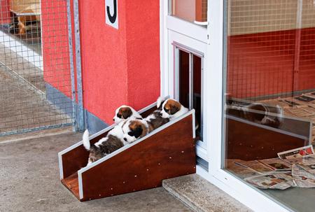 Saint Bernard small puppies playing at breeding kennel, Martigny, Switzerland