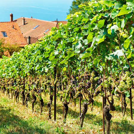 montreux: Chalets and Lavaux Vineyard Terraces hiking trail in Lavaux-Oron district of Switzerland