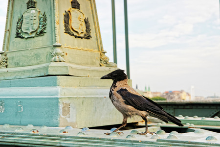 Crow at Chain Bridge in Budapest, Hungary Stock Photo