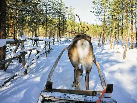 rovaniemi: Reindeer sledge race in the farm, Rovaniemi, Lapland, Finland