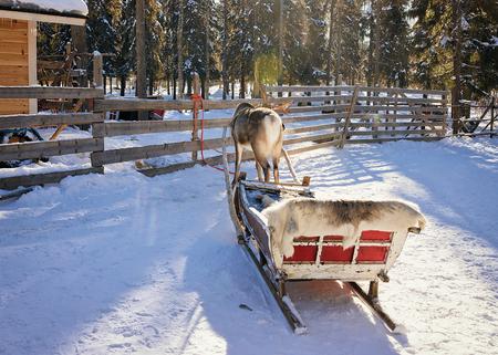 rovaniemi: Reindeer sledge in winter Rovaniemi farm, Lapland, Finland