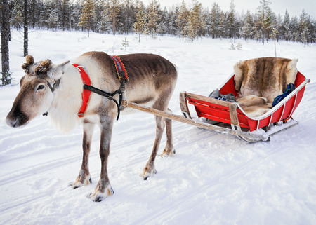 Reindeer without horn at winter farm in Rovaniemi, Finnish Lapland