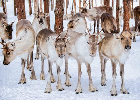rovaniemi: Reindeers in winter farm in Rovaniemi, Lapland, Finland