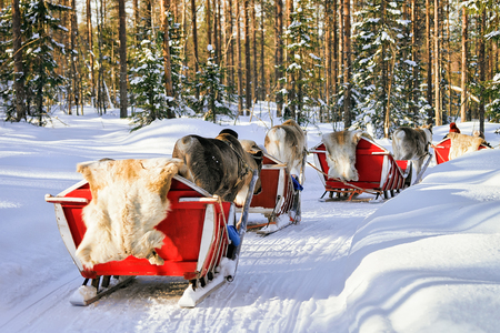 People on Reindeer sled caravan in winter forest in Rovaniemi, Lapland, Finland Archivio Fotografico