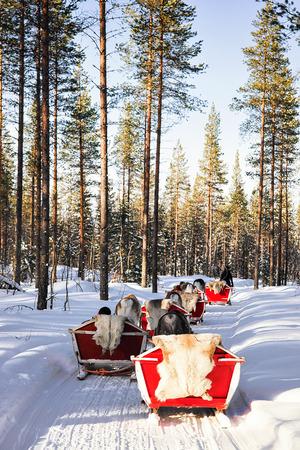 rovaniemi: People in Reindeer sledge caravan safari in winter forest in Rovaniemi, Finnish Lapland Stock Photo
