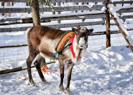 rovaniemi: Reindeer at winter farm in Rovaniemi, Finnish Lapland