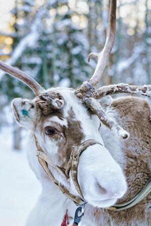 rovaniemi: Reindeer in winter forest at Rovaniemi, Lapland, Finland